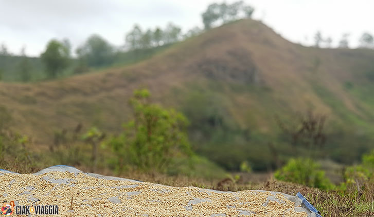 Caffè in asciugatura sul sentiero per Wawomuda Lake - Flores - Indonesia