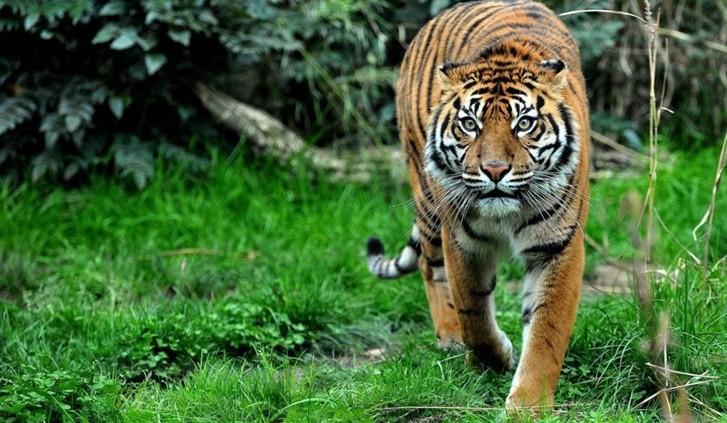 tigre di Sumatra - Indonesia