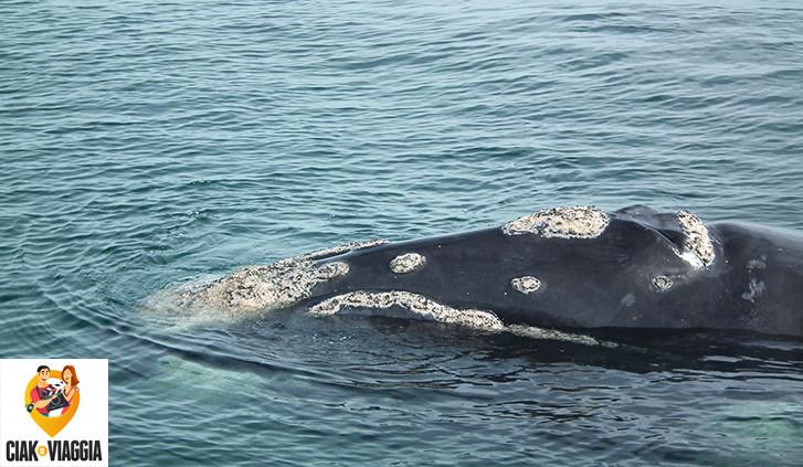 Foto di una balena scattata dalla barca