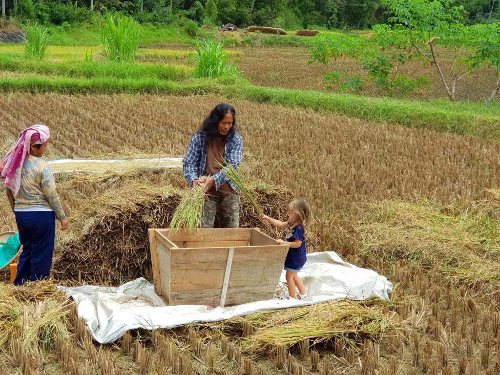 Sulawesi coltivazione riso